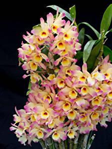 Картинка Орхидея Крупным планом Черный фон Цветы