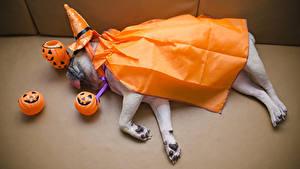 Фотография Собаки Хэллоуин Тыква Мопсы Шляпе Спит Животные