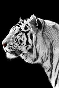 Фото Большие кошки Тигры Черный фон Белый Морда Животные