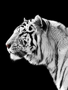 Фото Большие кошки Тигр На черном фоне Белый Морды животное