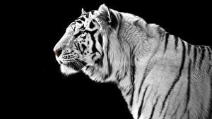 Фото Большие кошки Тигры Черный фон Белый Морды Животные