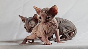 Картинки Кошки Сфинкс кошка Котята Двое Животные