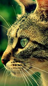 Фотография Коты Взгляд Усы Вибриссы Морда Головы Животные