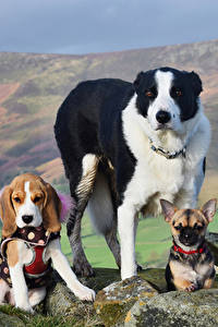 Фотография Собаки Камни Три Чихуахуа Бигль Бордер-колли Животные
