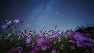 Фото Космея Небо Звезды Ночные Цветы