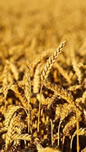 Фотографии Пшеница Поля Боке Колосок