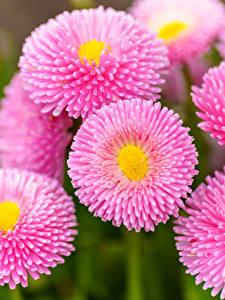 Фотография Маргаритка Вблизи Розовых цветок
