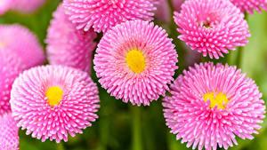 Фотография Маргаритка Вблизи Розовых Цветы