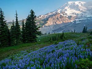 Картинка Америка Парк Гора Люпин Ель Mount Rainier National Park Природа