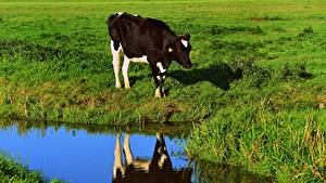 Фотографии Корова Луга Трава Отражении животное