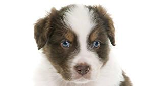 Картинка Собаки Белый фон Австралийская овчарка Сидит Взгляд Щенки