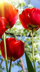Фото Тюльпан Вблизи Вид снизу Красный цветок