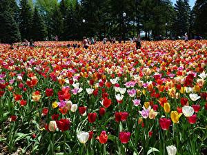 Фотография Канада Парки Тюльпан Много Botanical Gardens Montreal Цветы