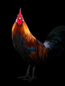 Фотография Птицы Петух Черный фон Животные