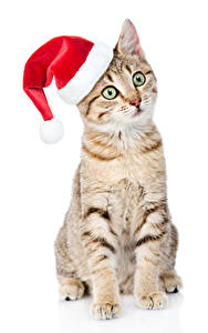 Фотография Рождество Кошки Белый фон В шапке Смотрят Животные