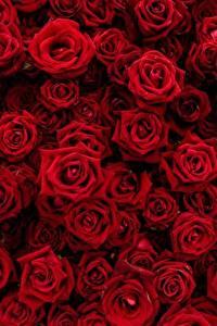 Обои Розы Текстура Много Красные