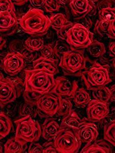 Обои Роза Текстура Много Красная Цветы