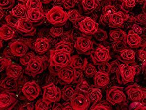 Обои Роза Текстура Много Красная