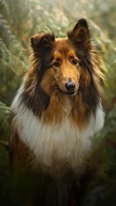 Фотография Собака Колли Животные