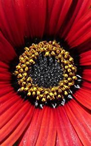 Обои Макросъёмка Крупным планом Красный Цветы
