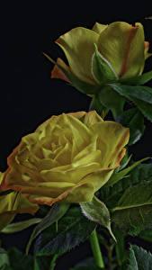 Фотографии Розы Черный фон Желтый Листья Цветы