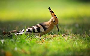Фото Птица Боке Траве Hoopoe животное