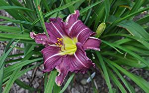 Картинка Лилия Крупным планом Фиолетовые цветок