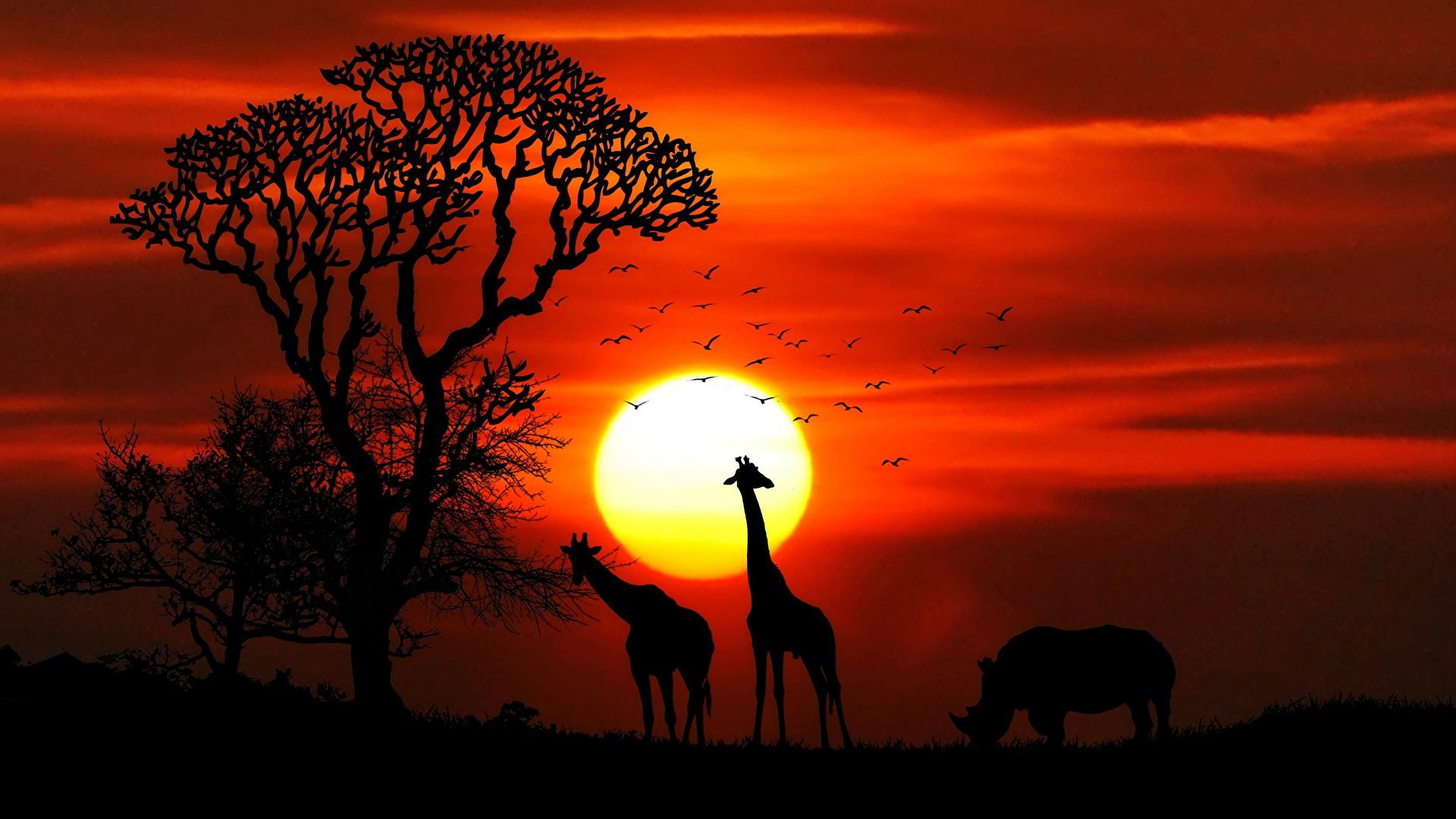 Фотографии Жирафы Носороги Африка силуэта солнца Рассветы и закаты Животные 1920x1080 Силуэт силуэты Солнце рассвет и закат животное