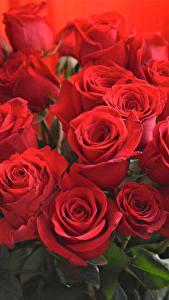 Картинка Букет Розы Вблизи Красных цветок