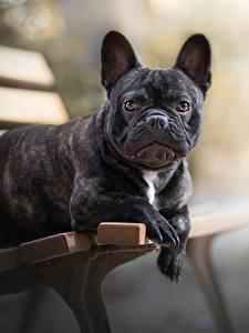 Фото Собаки Французский бульдог Скамейка Черный Животные