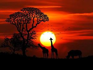 Фотографии Жирафы Рассвет и закат Носороги Африка Солнца Силуэта Животные