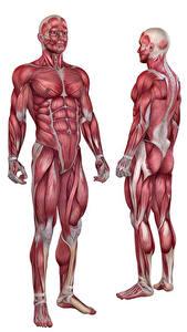 Фото Мужчины Мускулы Белый фон Human Anatomy