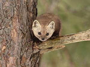 Картинки Куньи Ветвь Смотрит Дерево pine marten животное