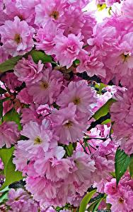 Фотографии Цветущие деревья Вблизи Розовых Ветки Цветы