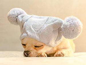 Картинки Собаки Щенков Чихуахуа В шапке Спящий Животные