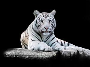 Обои для рабочего стола Тигры На черном фоне Белых Смотрит Животные