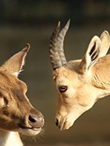 Обои Олени Вблизи Овцы Голова Смотрит Рога 2 Животные