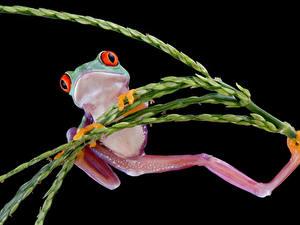 Картинки Лягушки Черный фон Лапы животное