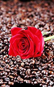 Фотографии Розы Кофе Вблизи Красная Зерна Цветы