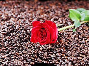Фотографии Розы Кофе Вблизи Красная Зерна Цветы Еда