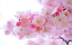 Фотографии Весна Цветущие деревья Крупным планом Розовые Сакура Природа