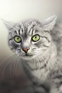 Картинки Коты Смотрят Морда Усы Вибриссы Животные