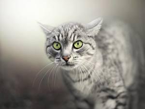 Картинки Коты Смотрит Морда Усы Вибриссы Животные