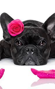 Обои Собаки Розы Французский бульдог Черный Смотрит Лепестки Белый фон Розовый Животные