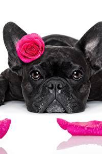 Обои Собаки Розы Французский бульдог Черная Смотрит Лепестки Белый фон Розовые животное