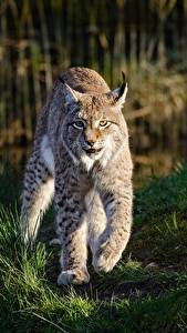 Фото Рыси Трава Лапы Смотрит Животные