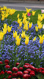 Обои Парки Тюльпаны Маргаритка Lobelia Цветы