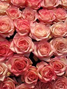 Картинка Розы Много Розовые Цветы