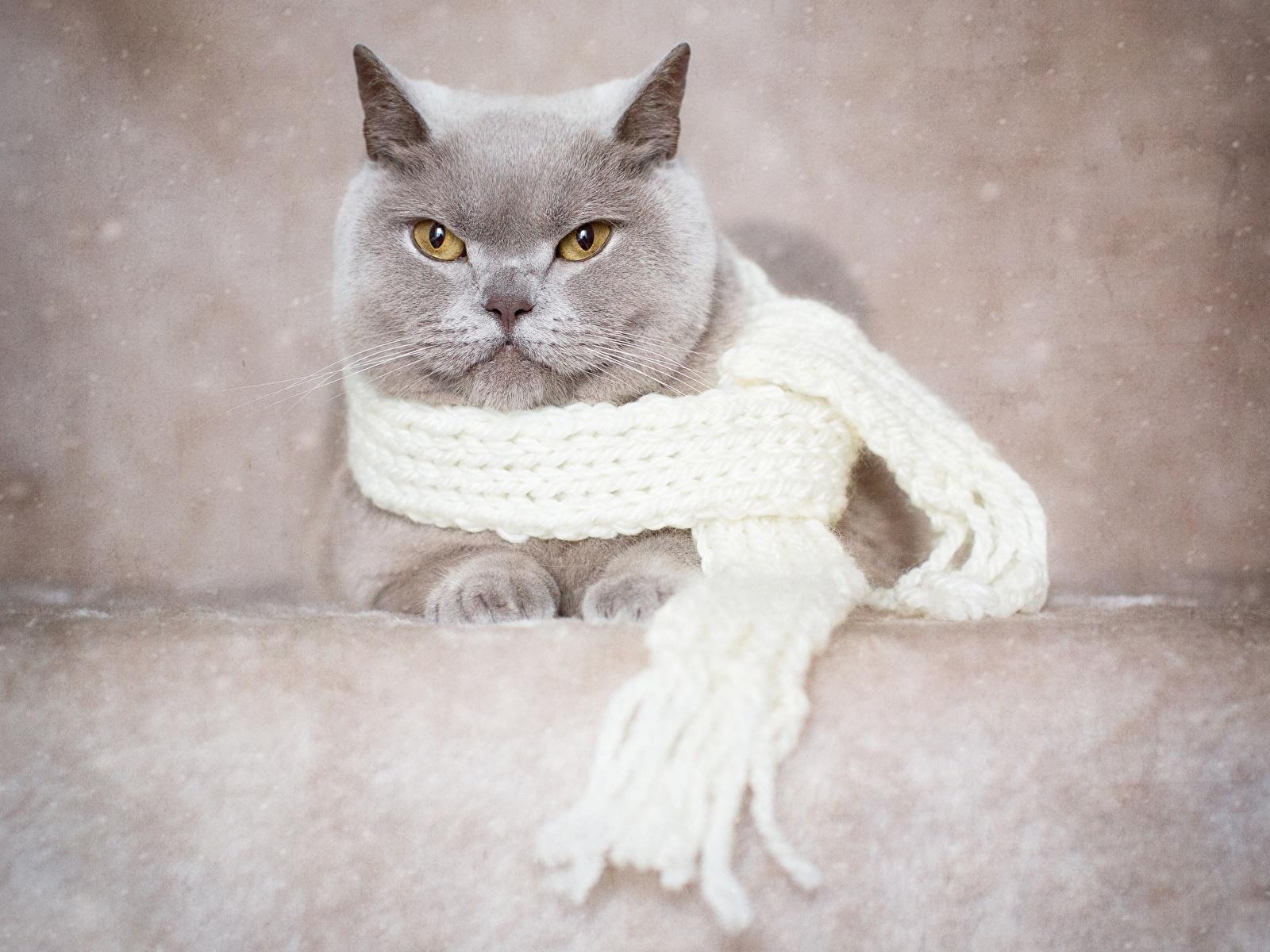 Фото Британская короткошёрстная Кошки шарфе серая Животные 1600x1200 кот коты кошка Шарф шарфом Серый серые животное
