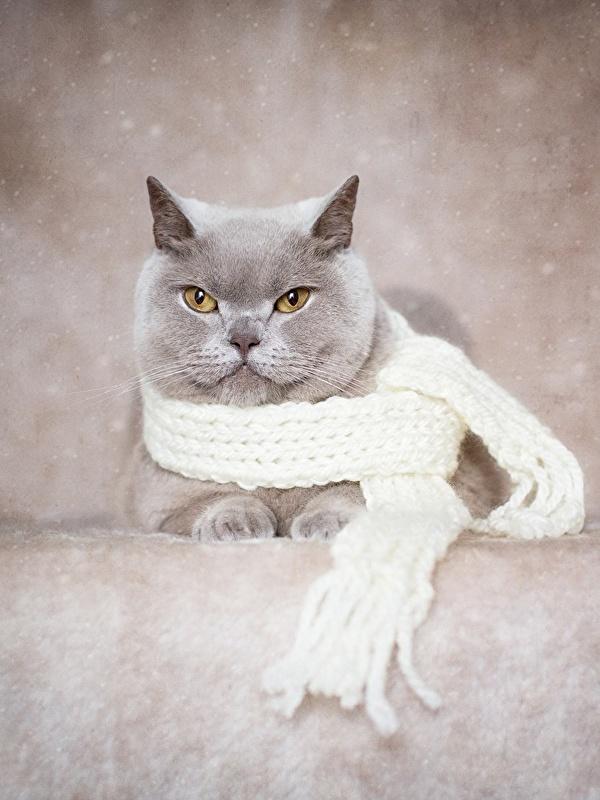 Фото Британская короткошёрстная Кошки шарфе серая Животные 600x800 для мобильного телефона кот коты кошка Шарф шарфом Серый серые животное